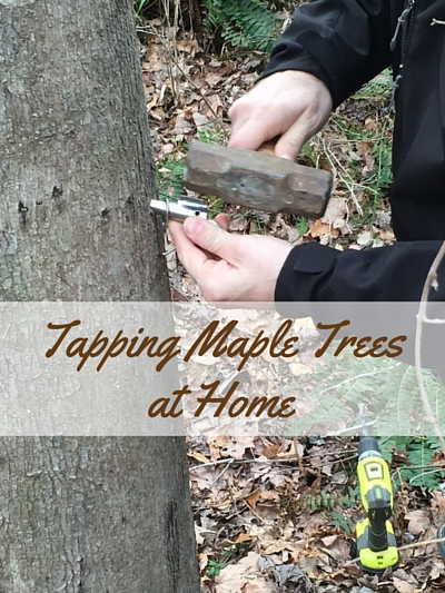 tapping maple trees at home